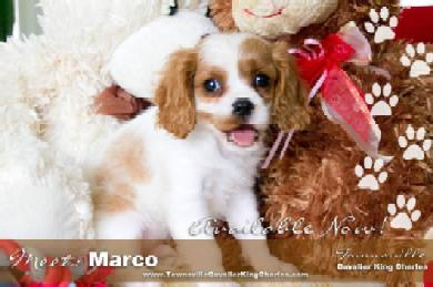 dogs puppies free classifieds browse ads buy or sell